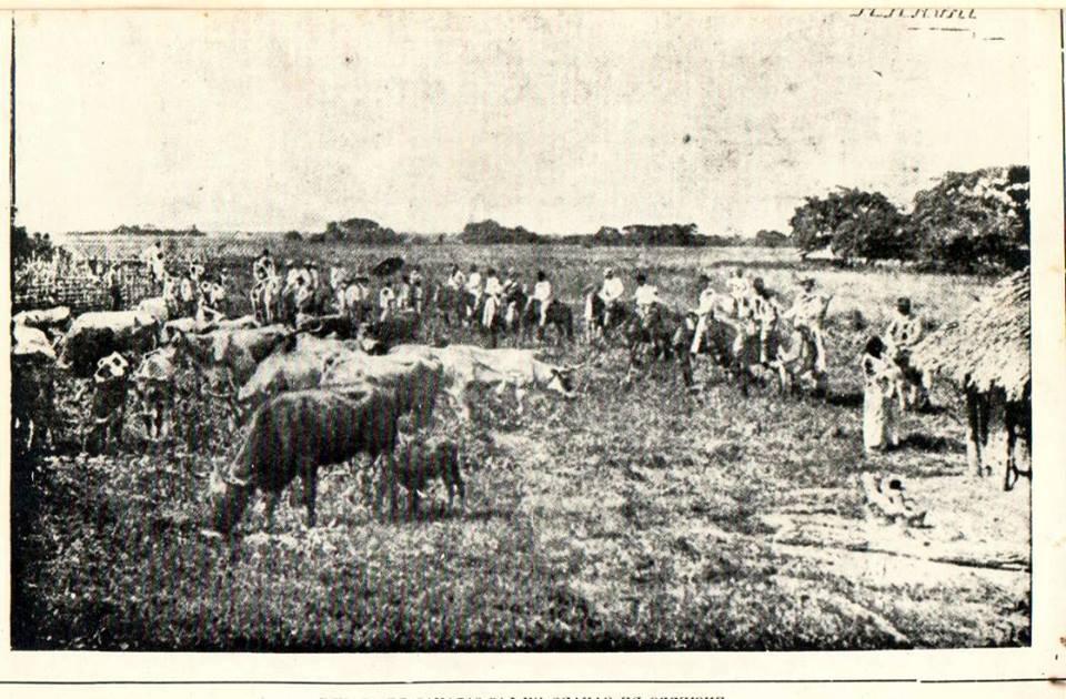 Encierro de ganado en las sabanas de Araure