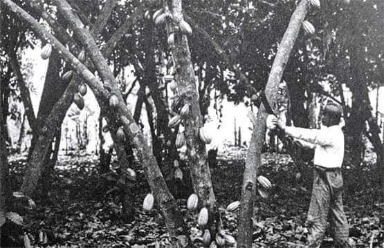 Cabudare como escenario del cacao