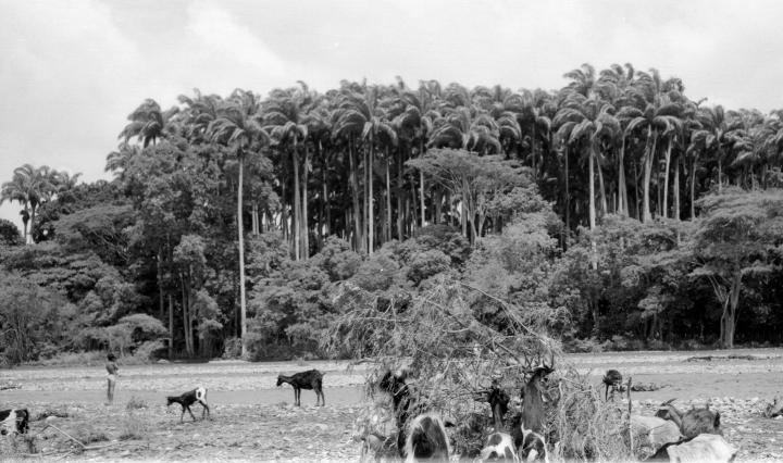 La destrucción del bosque Macuto comenzó con un baile